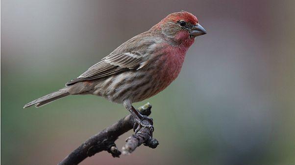 محققان با کاشت خاطرات ساختگی در مغز فنچ، نغمه جدید به پرنده آموختند