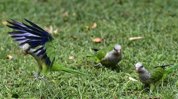 Madridi papagájok