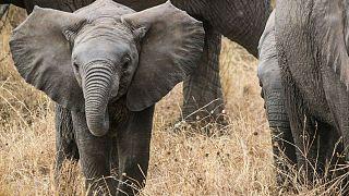 Tayland'da şelaleden düşüp ölen fillerin sayısı 11'e yükseldi