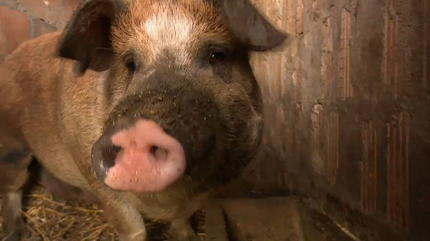 Has Hungary's swine flu epidemic infected its pig population?