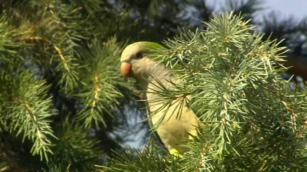 Madrid to curb exploding parakeet population using 'humane' method