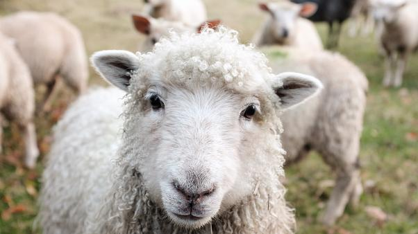 """Carbon negative jumper lets you """"adopt"""" sheep that the wool came from"""