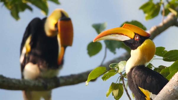 شاهد: عشرات طيور أبو قرن تغطي في أسراب سماء محمية تونبيغوان الصينية