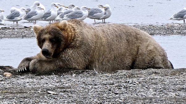"""17.000 Klicks: Alaska krönt """"Holly"""" zur """"Königin der fetten Bären"""""""