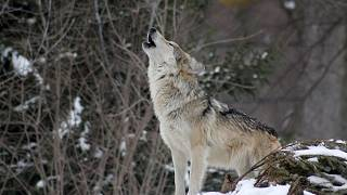 EU's top court upholds the protection of Finnish wolves
