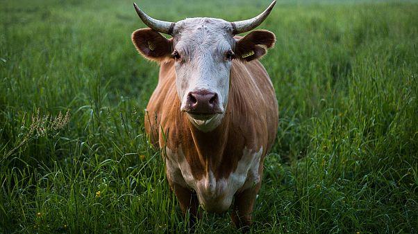 """Polizei jagt """"hoch aggressive Kuh"""" mit Hubschrauber und Pfeilen"""