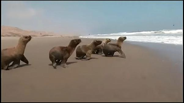 Hat fiatal oroszlánfóka térhetett vissza az óceánba