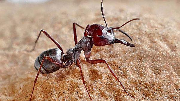 Αυτό είναι το πιο γρήγορο...μυρμήγκι στον κόσμο