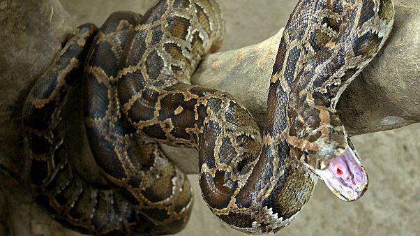 VIDEO | Piton yılanının boğarak öldürmeye çalıştığı Hintli zor kurtuldu