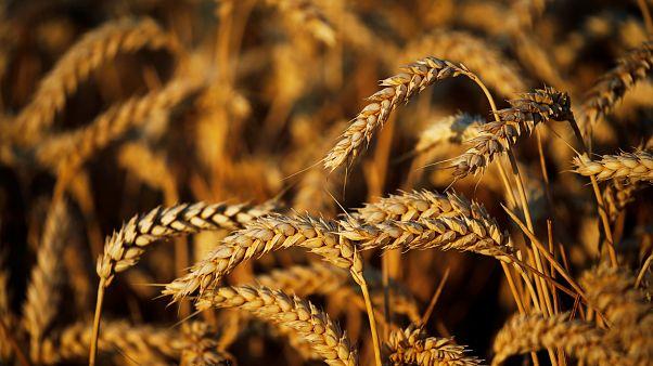 وزارة التموين المصرية: احتياطي مصر الاستراتيجي من القمح يكفيها حتى فبراير
