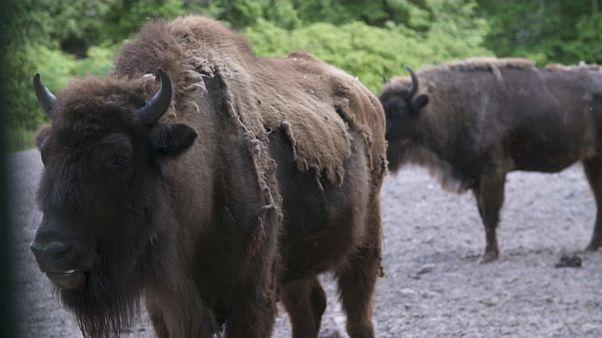 Il ritorno nel Caucaso del bisonte europeo. Un progetto del Wwf per salvare la specie