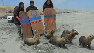 Oroszlánfókákat engedtek vissza az óceánba