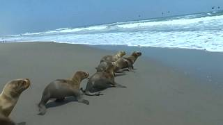 فيديو: إنقاذ 6 فقمات صغيرة وإعادتها إلى المحيط في بيرو