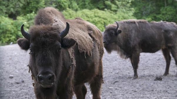 Des bisons réintroduits en Azerbaïdjan pour la sauvegarde de l'espèce