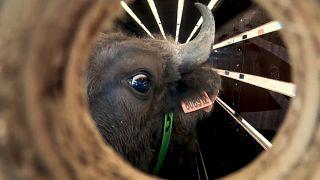 Reintrodução de bisontes na Europa