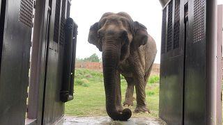 Ελέφαντας μετά από δεκαετίες σε τσίρκα επιστρέφει στο φυσικό του περιβάλλον
