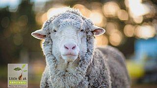 Avustralya: 40 kiloluk yünüyle rekor kıran merinos koyunu öldü