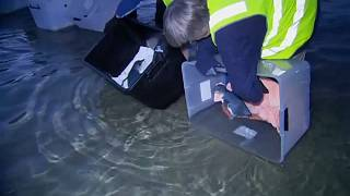 فيديو: إنقاذ 7 بطاريق صغيرة وإطلاقها حرة في المحيط في أستراليا