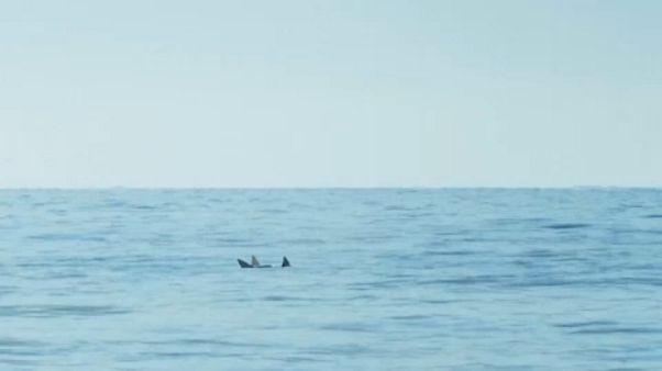 Egyetlen döntésen múlhat a barnadelfinek sorsa