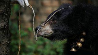 Ayıları penislerini yemek için öldüren Hintli yakalandı