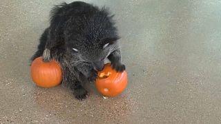 شاهد: حيوانات حديقة حيوان إلينوي تحتفل مبكراً بالهالووين