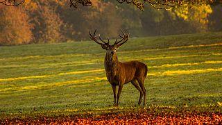 Avcı av oldu: Bu kez geyik avcıyı öldürdü
