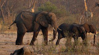 Szomjan halnak az elefántok Zimbabwéban