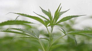 L'Assemblée nationale française autorise le cannabis thérapeutique