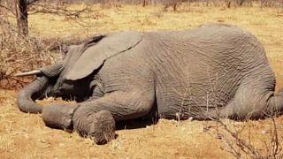 Al menos 55 elefantes mueren de hambre y sed en Zimbaue por la sequía