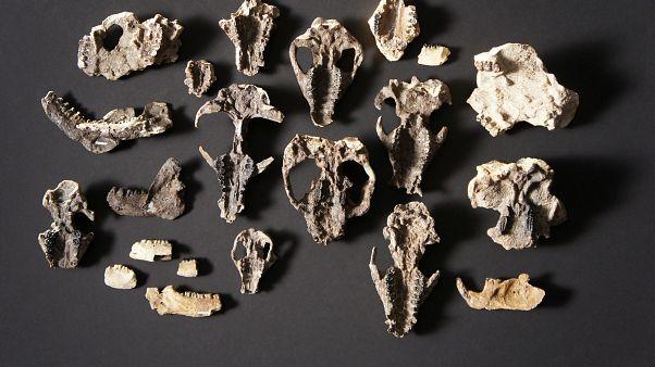 أحافيرٌ تكشف حقائق جديدة عن تطور الثديات قبل ملايين السنين