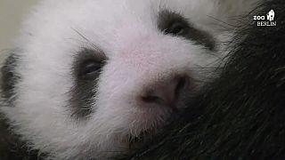 Neue Kuschelecke für kleine Pandas, sie wiegen jetzt 2,5 Kilo