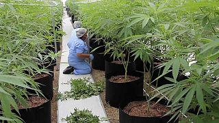 Francia, sì alla sperimentazione sulla cannabis terapeutica