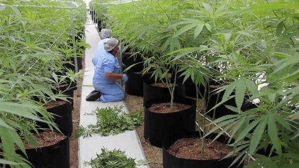 Cannabis: Frankreich will Studie zum medizinischen Einsatz erlauben