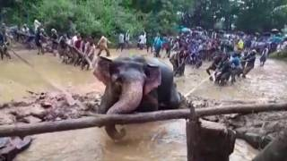 Indian villagers up to the tusk as they rescue elephant from swamp