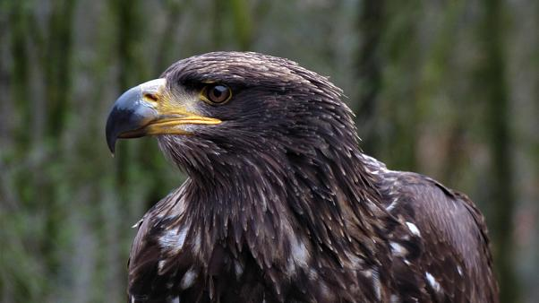 Eagle's big bill: GPS-tracked bird sends mobile charge soaring by roaming into Iran