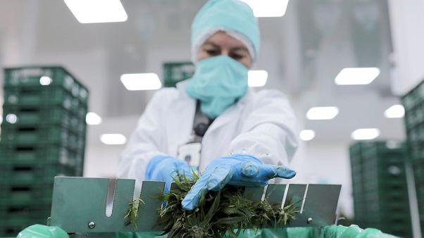 Fransa'da tıbbi amaçlı esrar kullanımına yeşil ışık