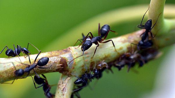 Yoğunluk arttıkça hızları artıyor: Karıncalar trafik sıkışıklığına çözüm olabilir mi?