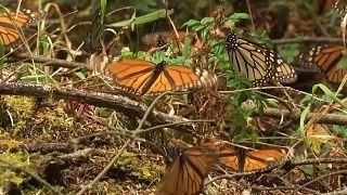 Watch: Millions of monarch butterflies arrive in Mexico
