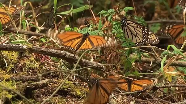 Watch: Millions of monarch butterflies arrive in Mexico
