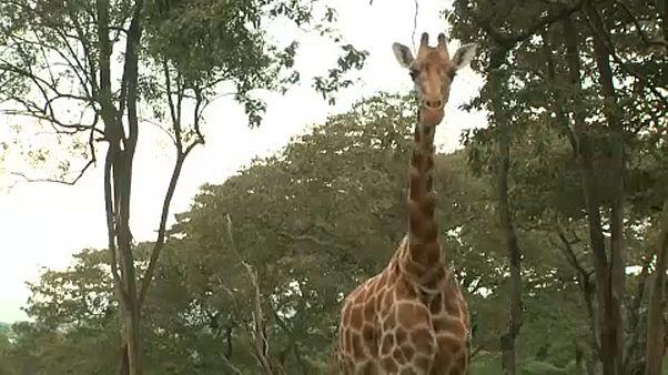 Tierschützer schlagen Alarm: Giraffe statt Rindfleisch