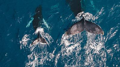 Whale populations have been under threat since the 1930s due to whaling