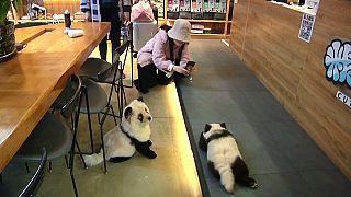 كلاب لون فروها على شكل لون البندا في مقهى صيني في شنغدو - 2019/10/26
