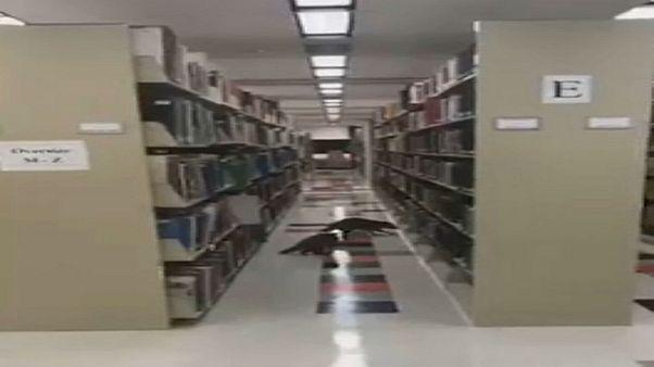 حياوانا الراكون وسط مكتبة خريجي جامعة ولاية أركانساس - 2019/10/27