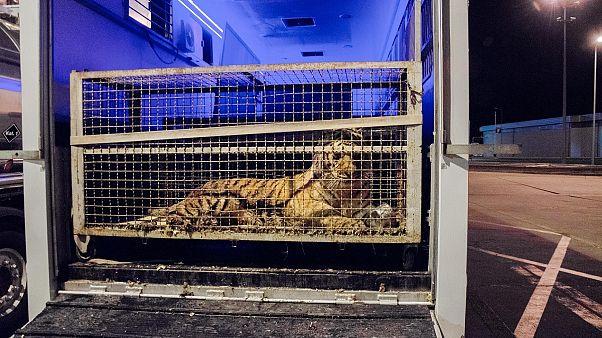 Einer der eingesperrten Tiger an der polnisch-weißrussischen Grenze