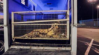 На белорусской границе умирают тигры