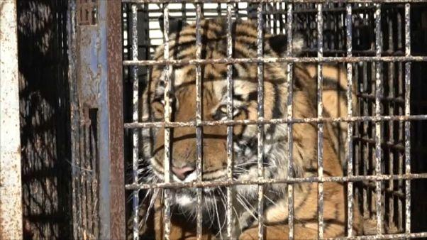 Rescatados los tigres retenidos en la frontera de Polonia