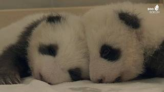Erster Kuscheltag für Berlins Panda-Zwillinge