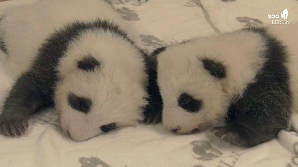 Primer encuentro de dos gemelos de oso panda en el zoo de Berlín