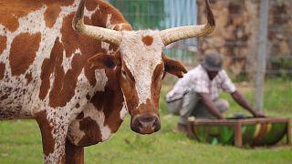 Au Cuanza Sud en Angola, l'agriculture prend une nouvelle dimension