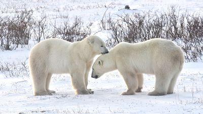 Polar bears in Churchill, Manitoba